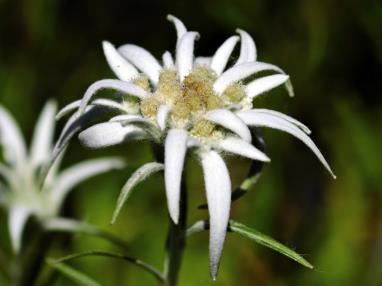 edelweiss-flor-de-la-nieve.jpg